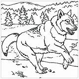 Wolf Coloring Animals Children Printable Worksheets Grade Reading 7th Students Justcolor sketch template