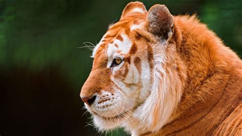 Beautiful Golden Tiger Wallpapers Images