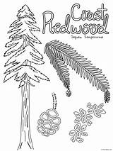 Coloring Sempervirens Sequoia Tml sketch template