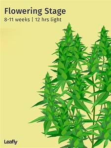 Stages Of The Cannabis Plant Growth Cycle