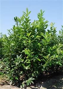 Arbuste Pour Haie Pas Cher : laurier novita 125 150 cm vente en ligne arbustes pour haies hautes pas cher ~ Nature-et-papiers.com Idées de Décoration