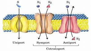 Diagram Of Cotransport