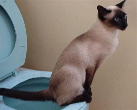 les toilettes pour chat bonne ou fausse id 233 e lechatpacha