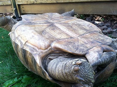 Sulcata Tortoise Bedding by Tortoise Bedding Tortoise Substrate Pets World