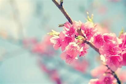 Flower Cherry Sakura Blossom Flowers Tree Spring