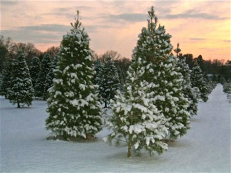 balled christmas tree delaware tree growers association delaware cut and balled tree care