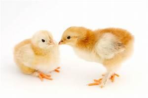 Organic Chick Grower 18% - Honeyville Feed & Farm Supply  Chick