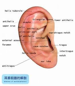 auriculair diagram - Google zoeken | Ooracupunctuur ...