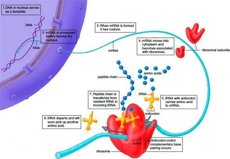 the enzyme uses atp to unwin dna template bio 101 study guide 2013 14 steinwand instructor