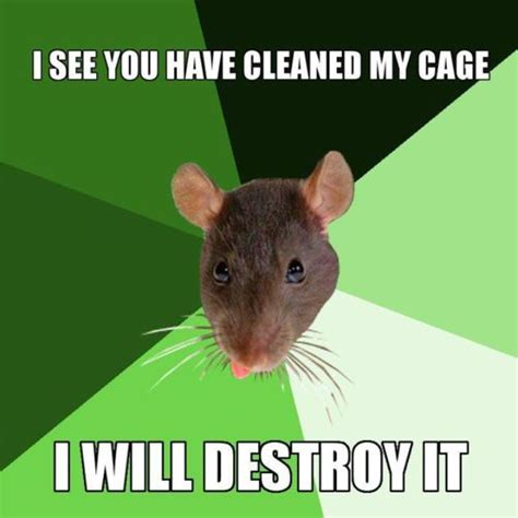 Rat Meme - rat memes google search ratties pinterest rats and animal
