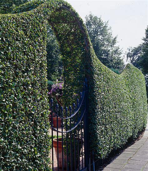 Welche Pflanze Als Hecke by Hecke Schnell Wachsend Schnellwachsende Hecke Als