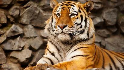Tiger 4k Desktop 1018 Wallpapers Mobile