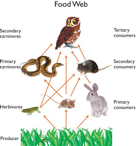 cuisine web owl food web owls owl food food webs and owl