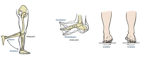 This article outlines the basic anatomy of the foot bones. Muscles That Move the Leg