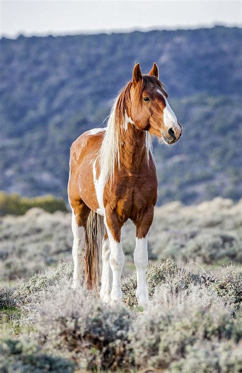 wild horse horses photographs colorado paint enews glenwood opening featured college herd scot gerdes