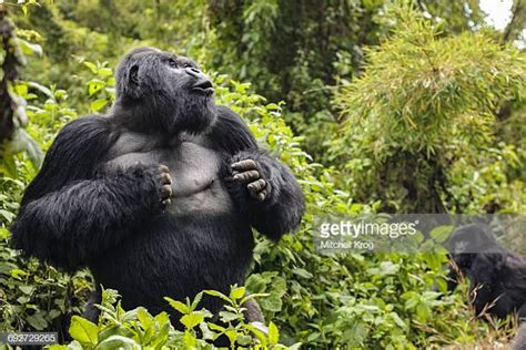 Silverback Gorilla Beating His Chest