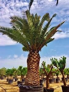Großen Apfelbaum Kaufen : gro en baum palme pflanze mallorca ibiza balearen kaufen frei haus ~ Frokenaadalensverden.com Haus und Dekorationen