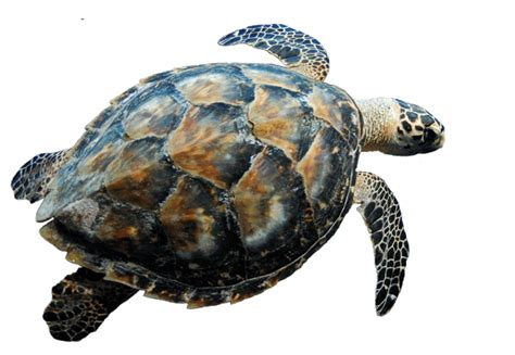 Swimming Turtle Transparent Png  Stickpng