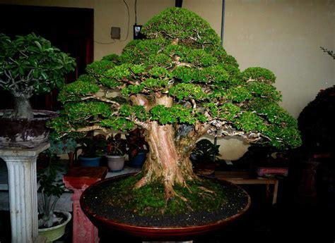 menanam tanaman bonsai merawat teknik