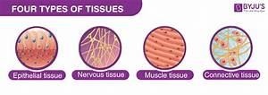 Epithelial Tissue  Structure With Diagram  Function  Types