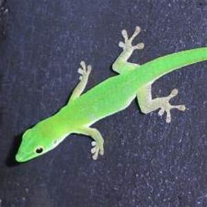 Lizards for sale Lizards online at Exotic Pets UK