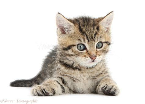 Cute Playful Tabby Kitten, 6 Weeks Old Photo Wp35606