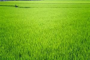 Rice Field | 35togo