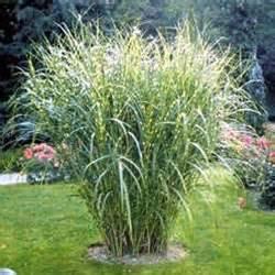 fall wedding favor ideas miscanthus sinensis zebrinus from santa rosa gardens zebra grass
