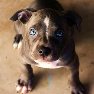 """blue nose pit bull puppy """"Bella"""", But more like blue eyed ..."""