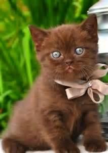 chocolate cat chocolate kitty critters