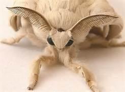 China Silkworm Moth  White Silk Moth