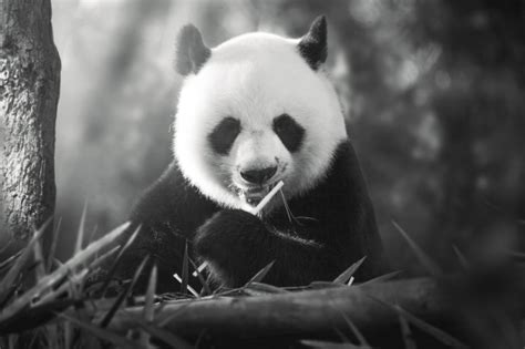panda monochrome fluffy cute