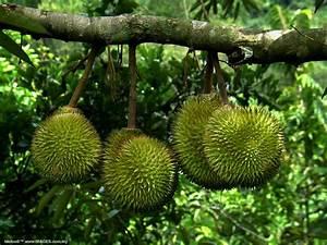 Epicurean Enthusiast: Durian: Bad fruit or Bad rap?