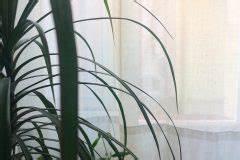 Kentia Palme Braune Blätter : drachenbaum hat braune spitzen woher kommen sie ~ Watch28wear.com Haus und Dekorationen