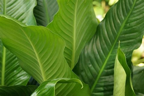 braun dfbügeleisen entkalken einblatt spathiphyllum bekommt braune bl 228 tter das hilft jetzt