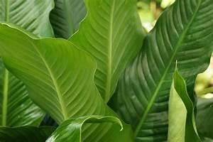 Hortensien Blätter Werden Braun : einblatt spathiphyllum bekommt braune bl tter das hilft ~ Lizthompson.info Haus und Dekorationen
