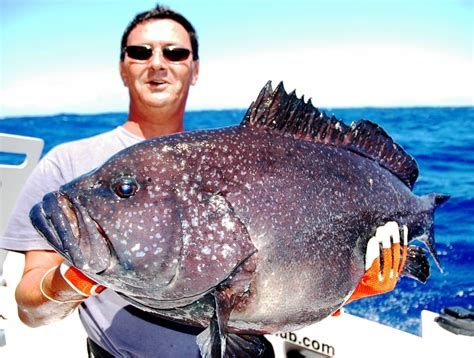 groupers fishing rod club grouper epinephelus reproduction behaviour