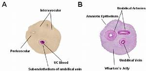 Umbilical Cord  Cross Section   A Localization Of Mesenchymal Stromal