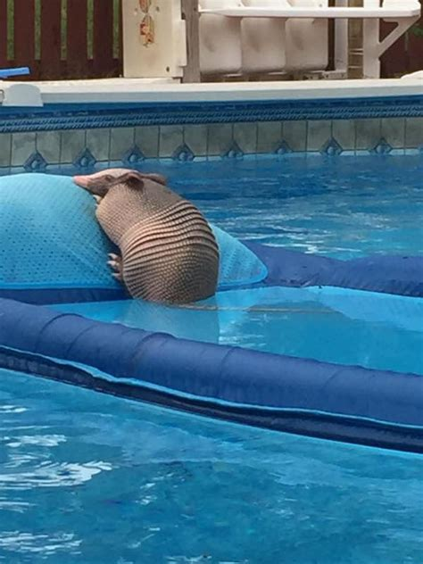 armadillo  chillin  pool    hurry  leave