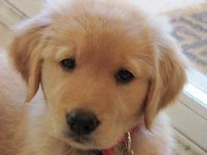 My dream puppy, half golden retriever, half yellow lab