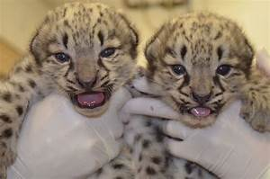 Image Gallery just born baby snow leopards