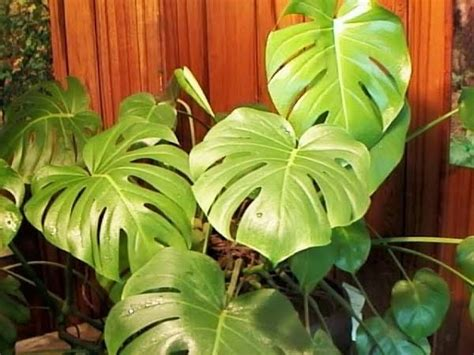 tropical house plants house plants tropical kootation blogspot com