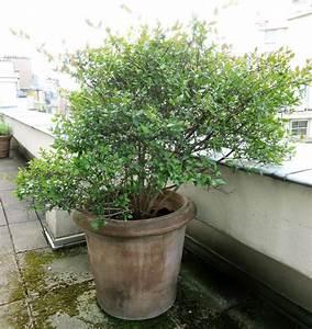 Plante D Extérieur En Pot : plante d extrieur en pot l papyrus cyperus papyrus ~ Dailycaller-alerts.com Idées de Décoration