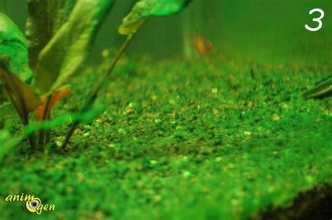 les algues dans un aquarium d eau douce type