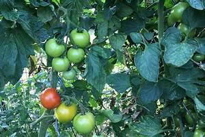 Tomaten Wann Pflanzen : tomatenpflanzen tipps zum setzen pflegen und schneiden ~ Frokenaadalensverden.com Haus und Dekorationen