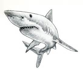 Sharks Drawing Sketches Tattoos