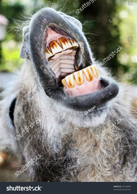 donkey showing open mouth teeth stock photo