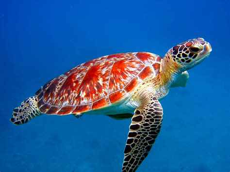 Sea Animals Wallpapers Free - animal free wallpapers sea animal turtle free wallpapers