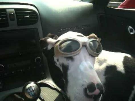 great dane   corvette wearing doggles youtube