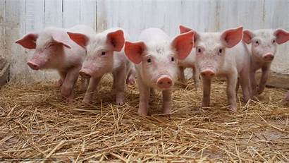 Pig Desktop Backgrounds Company Guinea Wallpapersafari Computer